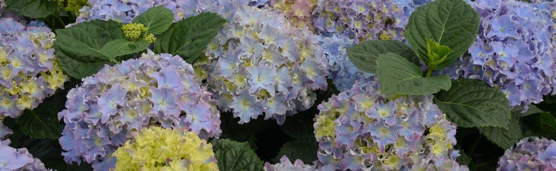 Wie kann man Hortensien blau färben?