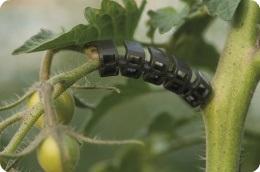 Wie wählt man die richtigen Clips für Tomatenpflanzen aus?