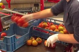 Vinyl-Handschuhe mit Tomaten