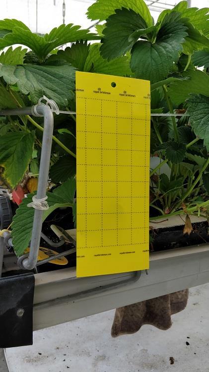 Signaltafel gelb (Insektenfalle) [10x25cm]