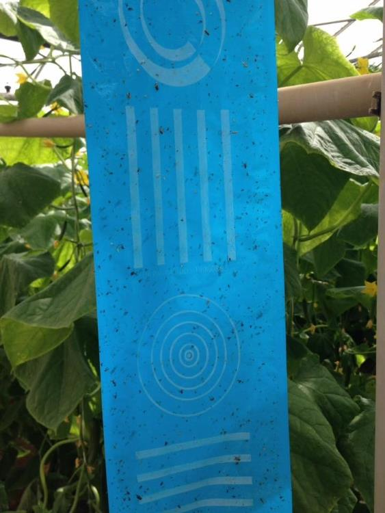 Insekten Leimrolle blau 100m x 15cm (Optiroll Super Plus)