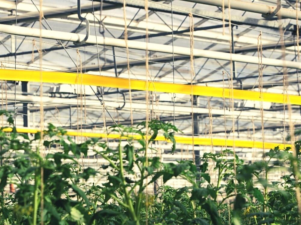 Insekten Fangrolle gelb 100m x 5 cm (IVOG)