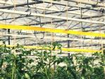 Insekten Fangrolle gelb [dünn] 100m x 30cm (Optiroll)
