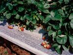 Erdbeer-Stützenet 12cm weiß 1000m